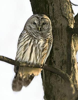 Barred Owl  Art Print by Timothy McIntyre