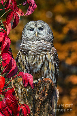 Barred Owl Art Print by Todd Bielby