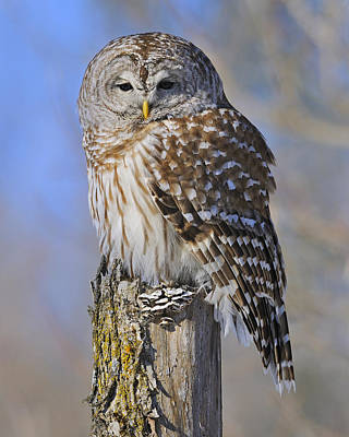 Photograph - Barred Owl by Tony Beck