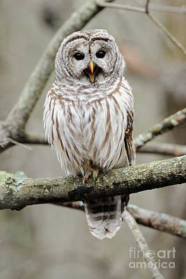 Photograph - Barred Owl Yawning by Scott Linstead