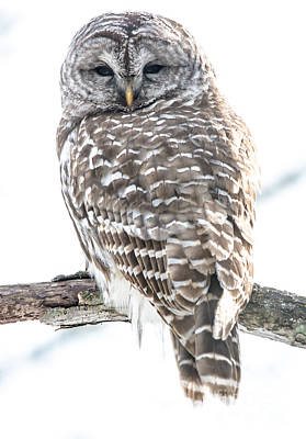 Photograph - Barred Owl2 by Cheryl Baxter
