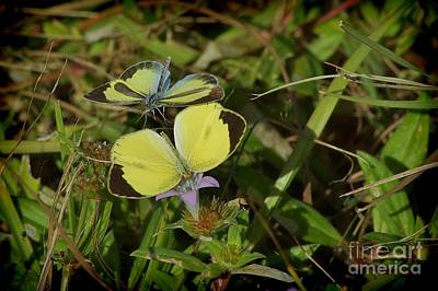 Photograph - Barred Yellow Butterflies by Lynda Dawson-Youngclaus