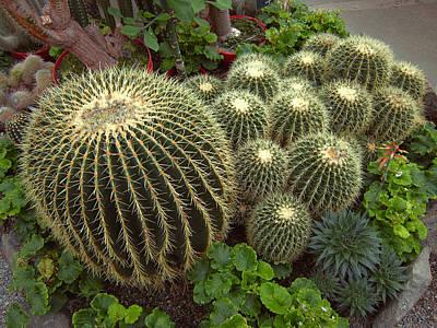 Blazing Sun Photograph - Barrel Cacti by Daniel Hagerman