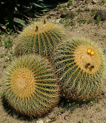 Photograph - Barrel Cacti by Ellen Henneke