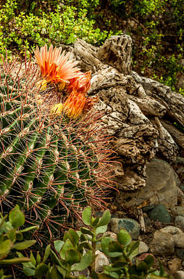 Photograph - Barrel Cactus by Gene Sherrill