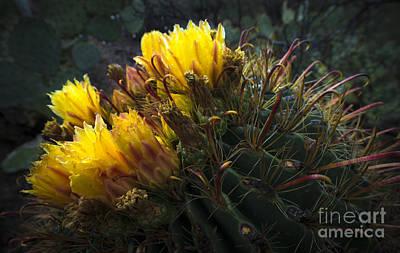 Photograph - Barrel Cactus In Bloom 1 by Richard Mason