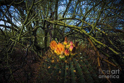 Photograph - Barrel Cactus In Bloom 3 by Richard Mason
