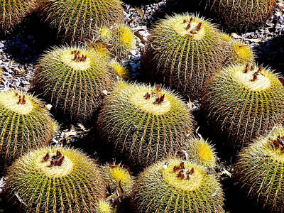 Photograph - Barrel Cactus by Jeff Lowe