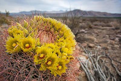 Barrel Cactus Photograph - Barrel Cactus by Peter Tellone