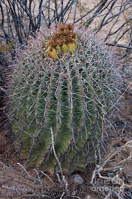 Photograph - Barrel Cactus With Fruit by Kerri Mortenson