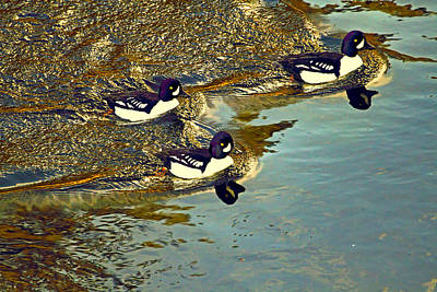Photograph - Barrow's Goldeneyes Going For The Gold by Peggy Collins