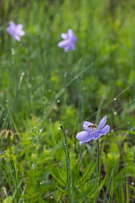 Photograph - Bartram's Ixia And Bee #2 by Paul Rebmann