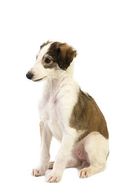 Greyhound Photograph - Barzoi by Gerard Lacz