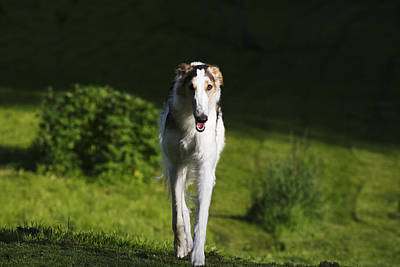 Woolf Photograph - Barzoi Hound Running In A Woolf Like Posture by Christian Lagereek