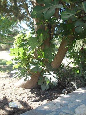 Photograph - Base Of A Fig Tree by Esther Newman-Cohen
