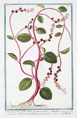 Spinach Photograph - Basella Rubra by Rare Book Division/new York Public Library