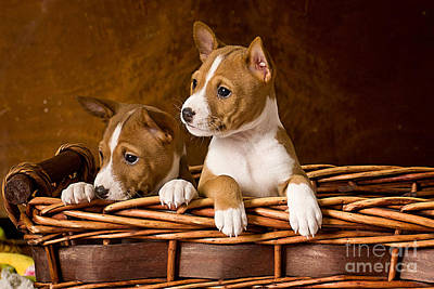 Puppies Mixed Media - Basenji Puppies by Marvin Blaine