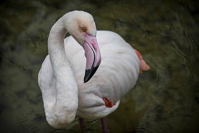 Photograph - Bashful And Shy Flamingo. by Clare Bambers
