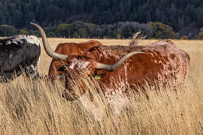 Photograph - Bashful Bovine by Kathleen Bishop