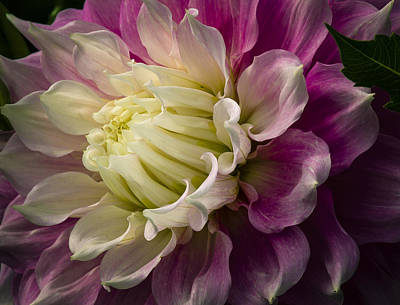 Photograph - Bashful Dahlia by Jean Noren