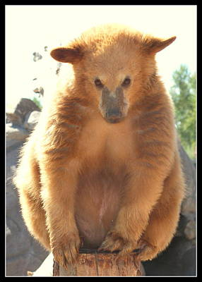 Photograph - Bashful Golden Grizzly Cub by Kathy Sampson