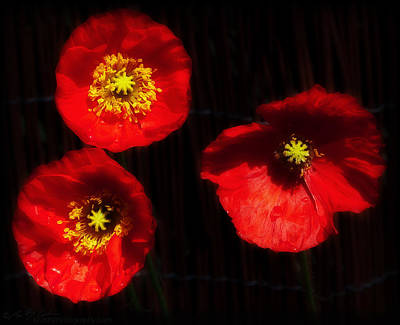 Photograph - Basic Poppies by Beverly Cash