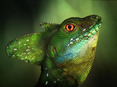 Lizard Wall Art - Photograph - Basilisca Verde by Jimmy Hoffman