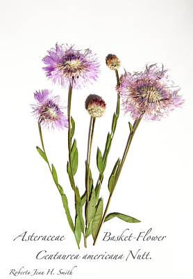 Photograph - Basket-flower by Roberta Jean Smith