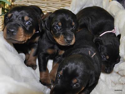 Basket Of Puppies Original by Sue Rosen