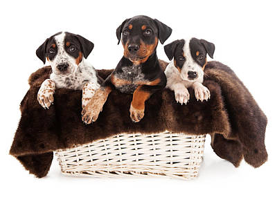 Basket Of Rottweiler Mixed Breed Puppies Art Print by Susan Schmitz