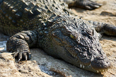 Photograph - Basking Crocodile by Nila Newsom