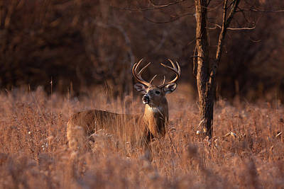 Ontario Photograph - Basking In The Light - White-tailed Buck by Jim Cumming