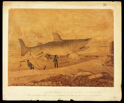 Elasmobranch Photograph - Basking Shark Illustration by Natural History Museum, London