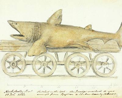 Elasmobranch Photograph - Basking Shark by Natural History Museum, London