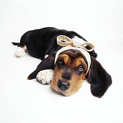 Basset Hound Photograph - Basset Hound Dog by John Daniels