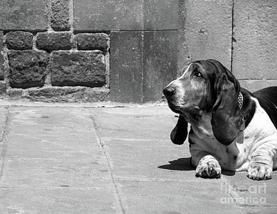 Photograph - Basset Hound II by Louise Fahy