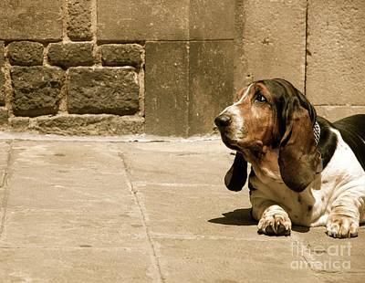 Photograph - Basset Hound by Louise Fahy