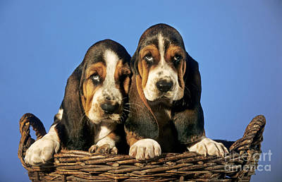 Droopy Photograph - Basset Hound Puppies by Johan De Meester