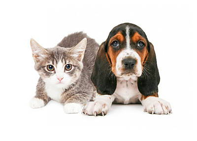 Basset Hound Puppy And Kitten Print by Susan Schmitz