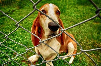 Photograph - Basset Sweetness by Kristina Deane
