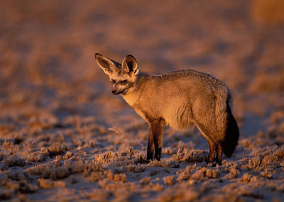 Photograph - Bat-eared Fox by Nigel Dennis
