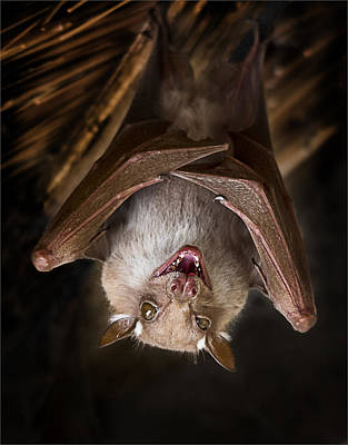 Hangs Upside Down Photograph - Bat Hanging In The Kruger National Park by Ronel Broderick