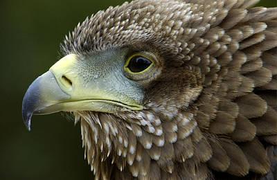 Bateleur Eagle Juvenile Africa Art Print by Malcolm Schuyl