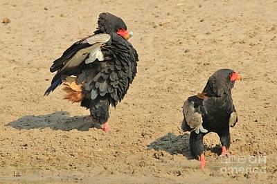 Popstar And Musician Paintings - Bateleur Eagle Threat Display by Hermanus A Alberts