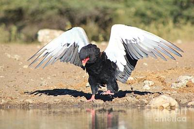 Thomas Kinkade - Bateleur Eagle Wings Spread by Hermanus A Alberts