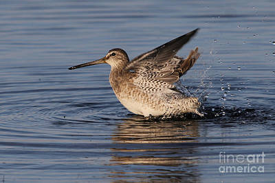Photograph - Bath Time - Short-billed Dowitcher by Meg Rousher
