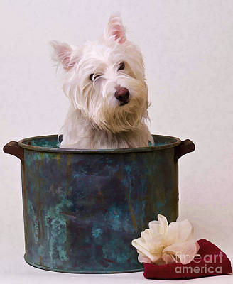 Pups Digital Art - Bath Time Westie by Edward Fielding