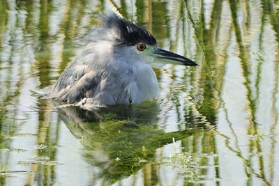 Photograph - Bathing Bc Night Heron by Bradford Martin