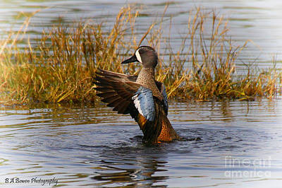 Bathing Blue-winged Teal Art Print by Barbara Bowen