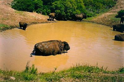 Photograph - Bathing Buffalo by Denise Mazzocco